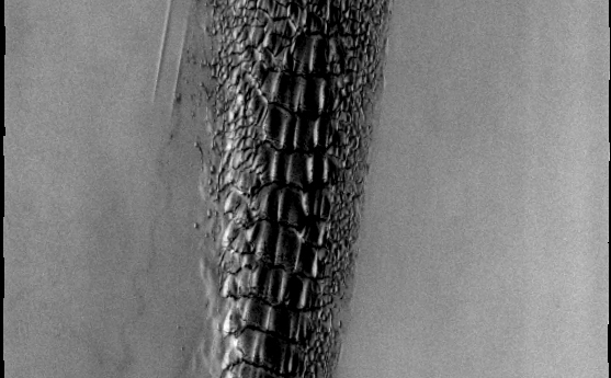 Although this may look like a hostile alien life form, it's actually a complex line of sand dunes near the northern ice cap of Mars.
